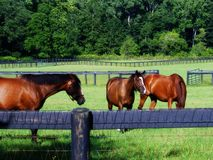 Grazing Horses 4. A shot of several quarterhorses grazing in a pasture in northeast Ohio, USA Royalty Free Stock Image