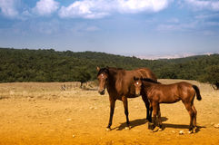 Grazing horses. Lovely quarter horses in tuscany, Italy Royalty Free Stock Images
