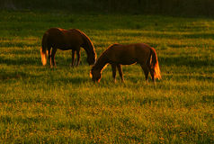 Grazing horses. Horse grazing on the meadow in the evening Royalty Free Stock Photography