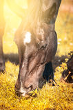 Grazing horses on autumn grass on  sunny day Royalty Free Stock Photography