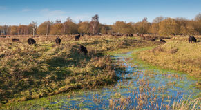Grazing horses in an autumnal landscape Stock Images