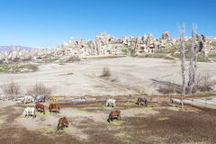 Grazing horses on a background of mountains. Turkey. Royalty Free Stock Photography
