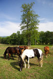 Grazing Horses. In Cades Cove, Great Smokey Mountains National Park, Tennessee Stock Photos