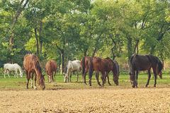 Grazing Horses on the farm ranch Stock Photography