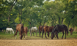 Grazing Horses on the farm ranch Stock Images