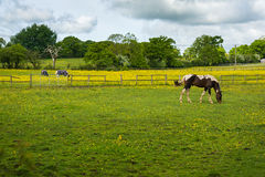 Grazing horses. At a farm. West Midlands countryside landscape, UK Royalty Free Stock Photography