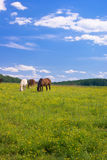 Grazing Horses in Field of Buttercups Royalty Free Stock Images