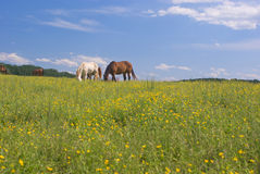 Grazing Horses in Field of Buttercups Royalty Free Stock Photography