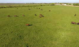 Grazing horses on the field. Shooting horses from quadrocopter. Pasture for horses. Royalty Free Stock Image