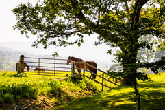 Grazing horses in a field  under a big tree. Photo taken in Ireland Stock Image