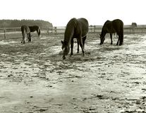 grazing horses on a free winter catwalk Stock Image