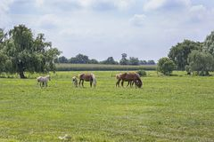 Grazing Horses. In a green pasture Royalty Free Stock Photos