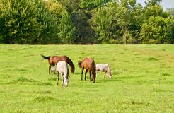 Grazing Horses in a green field. A group of four horse graze calmly in the grassy field Royalty Free Stock Images