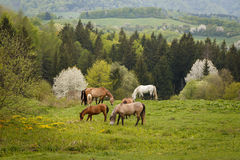 grazing horses on a green mountain meadows Stock Photos