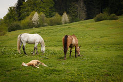 grazing horses on a green mountain meadows Royalty Free Stock Photography
