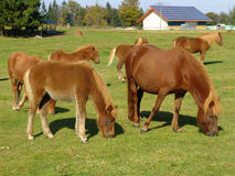 Grazing Horses on the green Pasture Stock Images