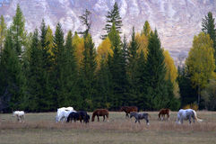 Grazing horses. A herd of grazing horses Royalty Free Stock Photography