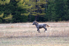 Grazing horses. A herd of grazing horses Royalty Free Stock Images