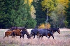 Grazing horses. A herd of grazing horses Stock Image
