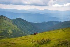 Grazing horses at high-land pasture at Carpathian Mountains. Royalty Free Stock Photos
