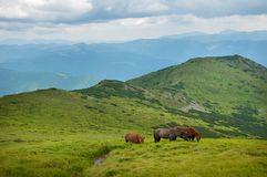 Grazing horses at high-land pasture at Carpathian Mountains. Royalty Free Stock Photography