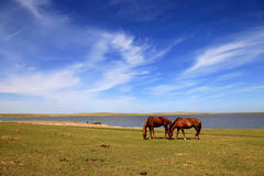 Grazing horses. Horses grazing by the lake stock photo
