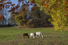 Grazing horses on the meadow, autumnal edge of the wood Stock Photos