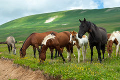 Grazing horses on the meadow with wild flowers, Caucasus, Russia Stock Photo