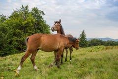 Grazing horses Royalty Free Stock Image