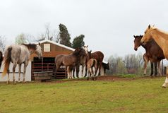 Grazing horses in a medow. Horses grazing at a horse farm stock image