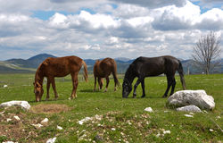 Grazing horses, National park Durmitor at early spring, Montenegro Royalty Free Stock Photo