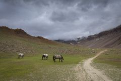 Grazing Horses near chandrataal lake in Spiti Valley Stock Image