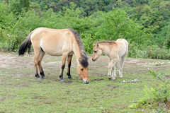 Grazing horses from North Vietnam. Horses in forests of North Vietnam stock image