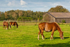 Grazing horses and an old barn. Peaceful grazing horses on a sunny Dutch meadow on the outskirts of a small village Royalty Free Stock Photo
