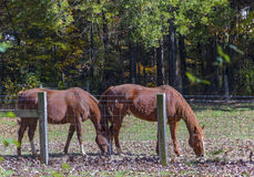 Grazing Horses. A pair of brown horses grazing behind a fence Royalty Free Stock Image