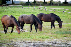 Grazing horses. In the pasture Stock Photos