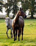 Grazing horses. In the pasture Royalty Free Stock Photo