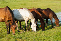 Grazing horses. In the pasture Stock Photography