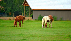 Grazing Horses in Pasture. Three horses grazing in a green grass covered pasture Stock Photography