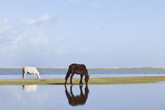 Grazing horses at Qinghai lake. Black and white grazing horses at Qinghai lake Stock Images