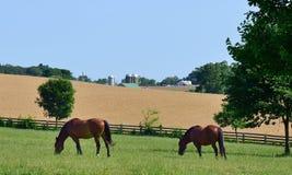 Grazing horses. On rural Maryland farm Royalty Free Stock Photos