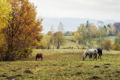 Grazing horses on rural pasture Stock Photos