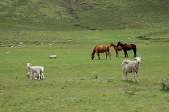 Grazing horses and sheep Stock Photo