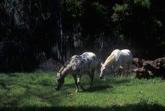 Grazing horses in Springtime, Ojai, CA Stock Photo