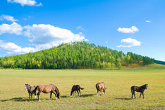 Grazing horses at summer field Stock Photo