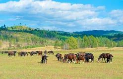 Grazing horses at summer grassland Royalty Free Stock Image