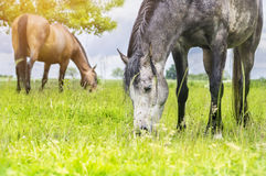 Grazing horses on summer meadow Stock Photos