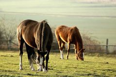 Grazing horses at sunset in autumn Stock Photography