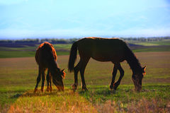Grazing horses in sunset Royalty Free Stock Image