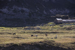 Grazing horses in the Swiss Alps Royalty Free Stock Photo
